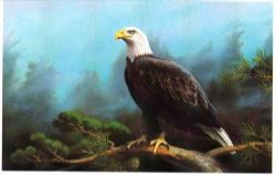 Art For the EAGLE LOVERS: Limited Edition, signed & numbered